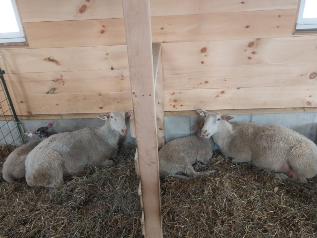 New sheep on the farm!
