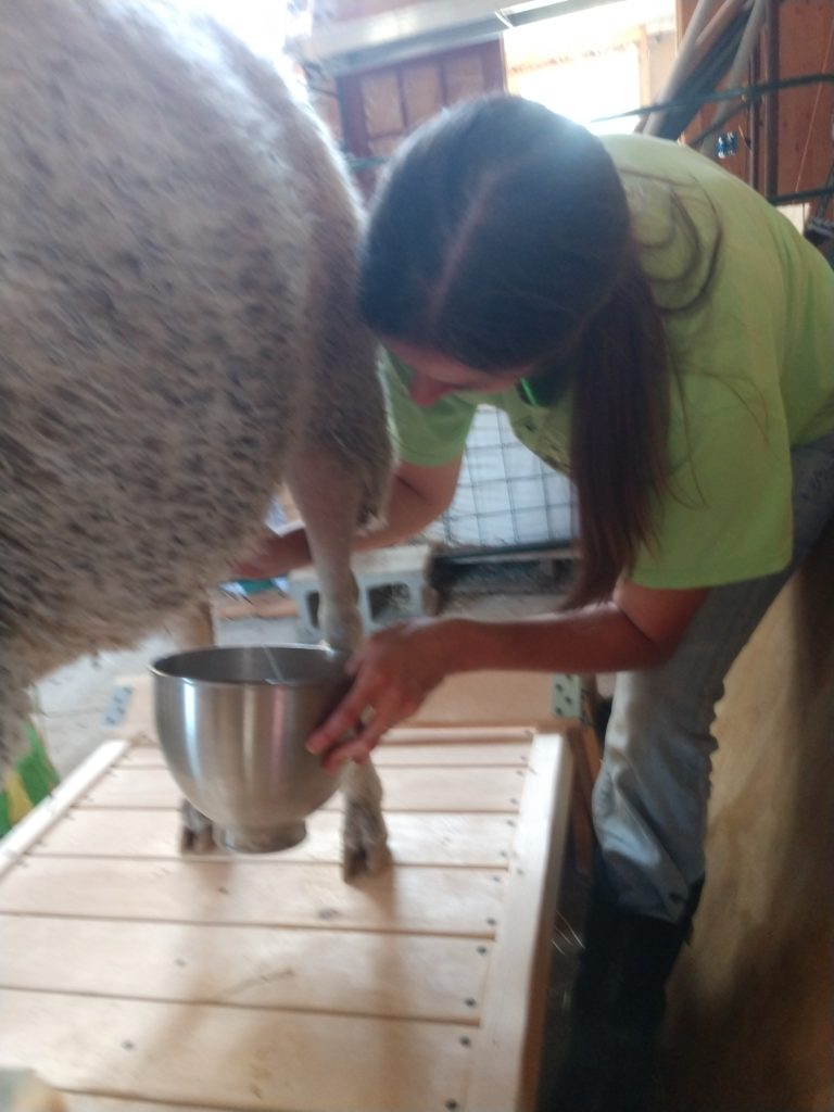 First time milking our sheep